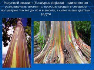 Радужный эвкалипт (Eucalyptus deglupta) – единственная разновидность эвкалипт