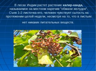 """В лесах Индии растет растение калир-канда, называемое на местном наречии """"обм"""