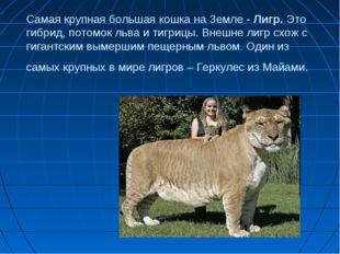 Самая крупная большая кошка на Земле - Лигр. Это гибрид, потомок льва и тигри