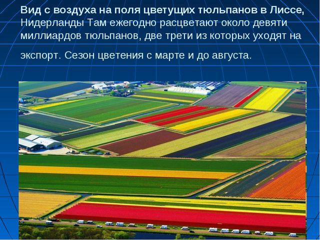 Вид с воздуха на поля цветущих тюльпанов в Лиссе, Нидерланды Там ежегодно рас...
