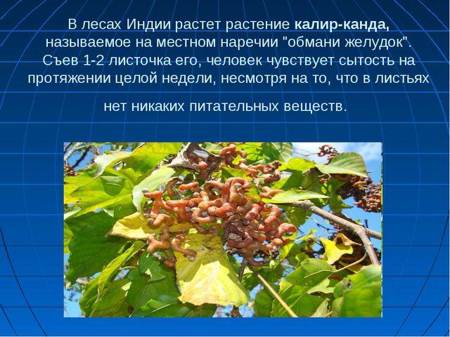 """В лесах Индии растет растение калир-канда, называемое на местном наречии """"обм..."""