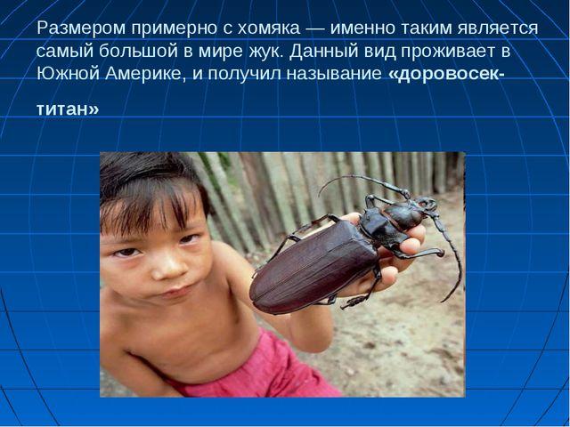 Размером примерно с хомяка — именно таким является самый большой в мире жук....
