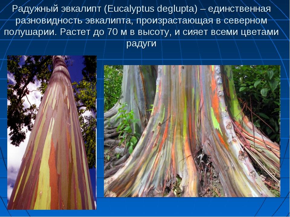 Радужный эвкалипт (Eucalyptus deglupta) – единственная разновидность эвкалипт...