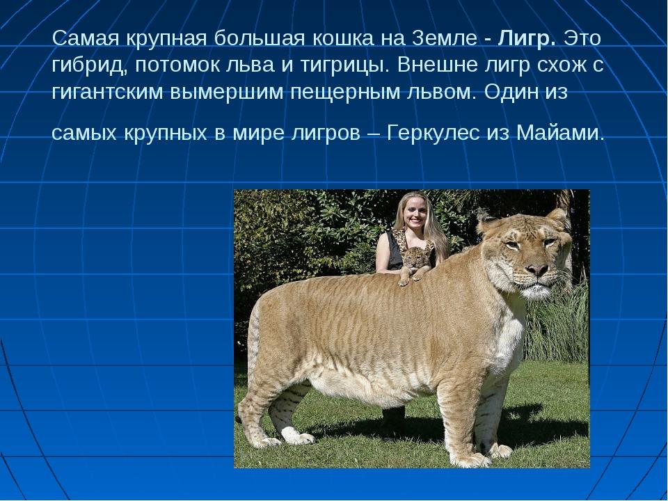 Самая крупная большая кошка на Земле - Лигр. Это гибрид, потомок льва и тигри...