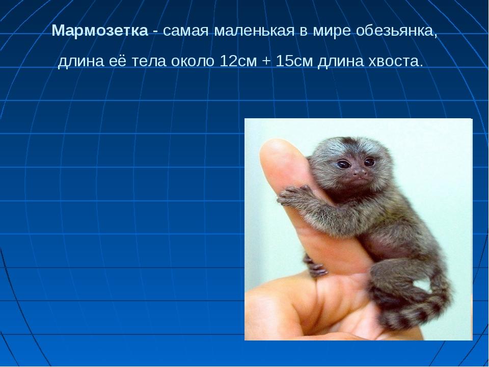 Мармозетка - самая маленькая в мире обезьянка, длина её тела около 12см + 15с...