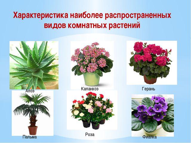 Характеристика наиболее распространенных видов комнатных растений Алоэ Каланх...