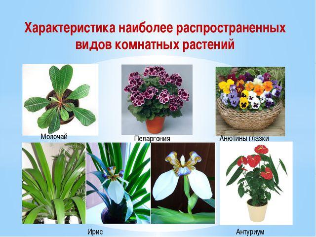 Характеристика наиболее распространенных видов комнатных растений Молочай Пел...