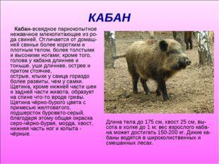 КАБАН Кабан-всеядноепарнокопытное нежвачное млекопитающее из ро-дасвиней. О