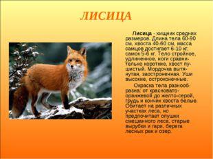 ЛИСИЦА Лисица - хищник средних размеров. Длина тела 60-90 см, хвоста 40-60 см