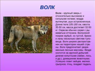 ВОЛК Волк - крупный зверь с относительно высокими и сильными ногами; морда вы