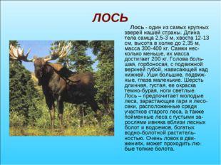 ЛОСЬ Лось - один из самых крупных зверей нашей страны. Длина тела самца 2,5-3