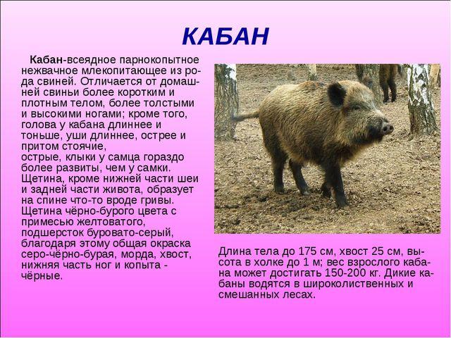 КАБАН Кабан-всеядноепарнокопытное нежвачное млекопитающее из ро-дасвиней. О...