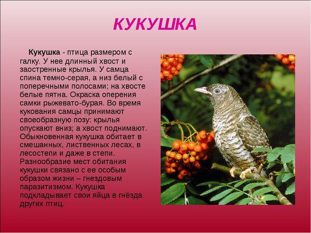 КУКУШКА Кукушка - птица размером с галку. У нее длинный хвост и заостренные к...