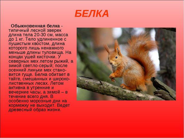БЕЛКА Обыкновенная белка - типичный лесной зверек длина тела 20-30 см, масса...