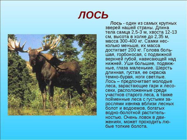 ЛОСЬ Лось - один из самых крупных зверей нашей страны. Длина тела самца 2,5-3...