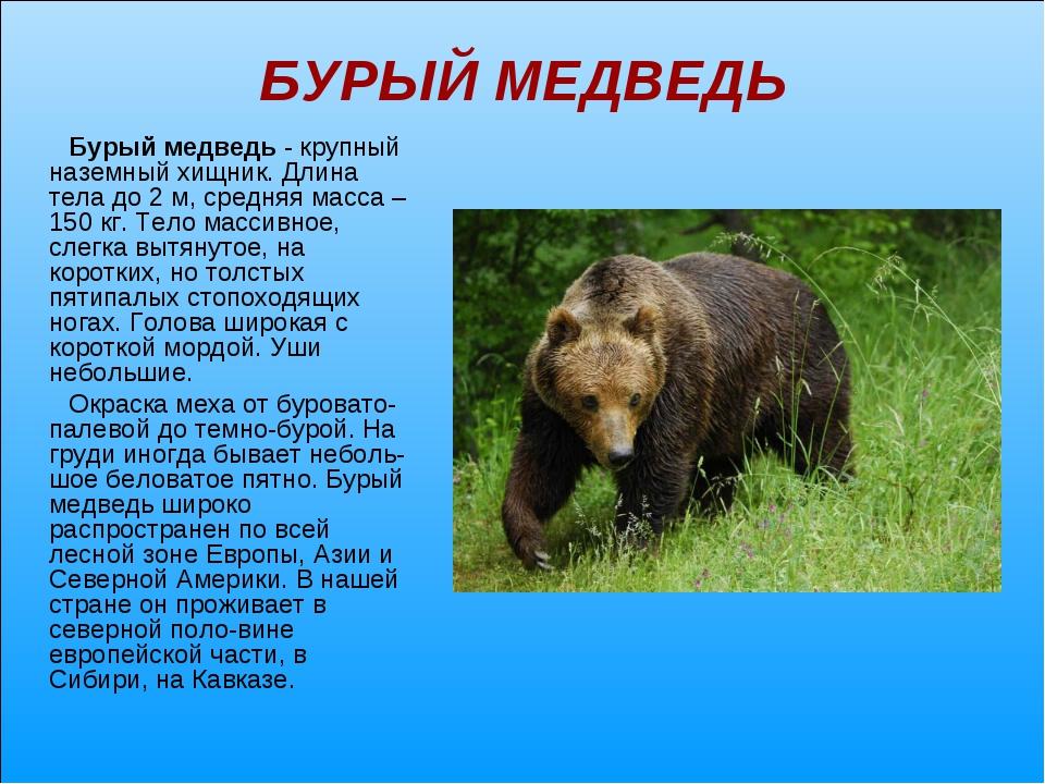 БУРЫЙ МЕДВЕДЬ Бурый медведь - крупный наземный хищник. Длина тела до 2 м, сре...