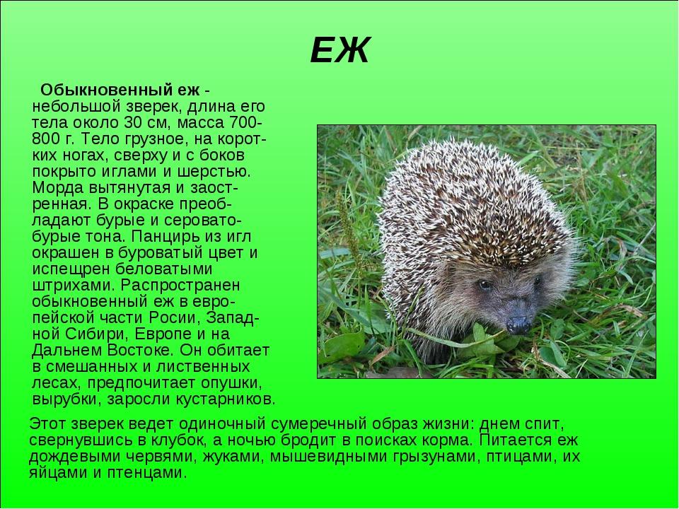 ЕЖ Обыкновенный еж - небольшой зверек, длина его тела около 30 см, масса 700-...