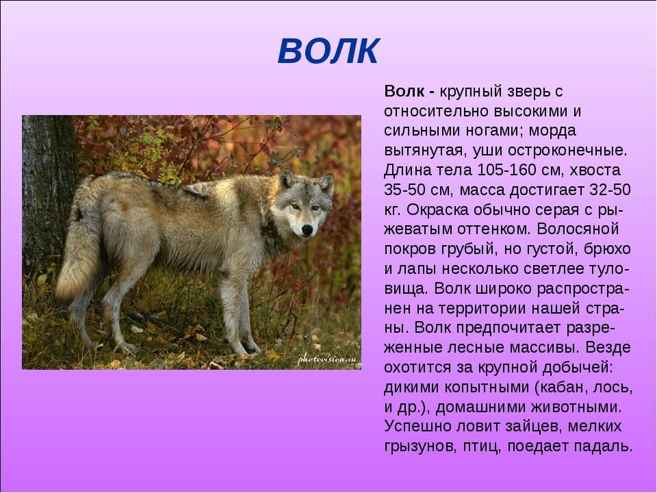 ВОЛК Волк - крупный зверь с относительно высокими и сильными ногами; морда вы...