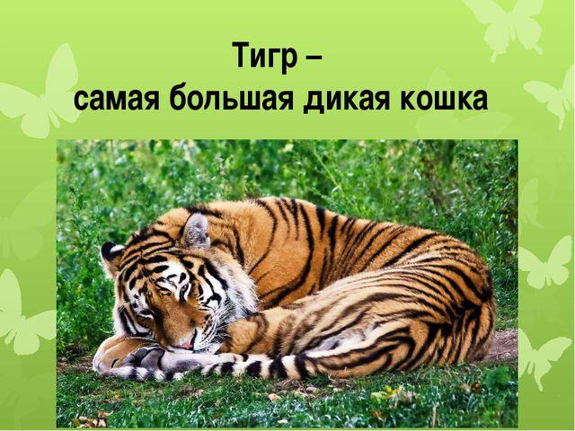 Тигр – самая большая дикая кошка