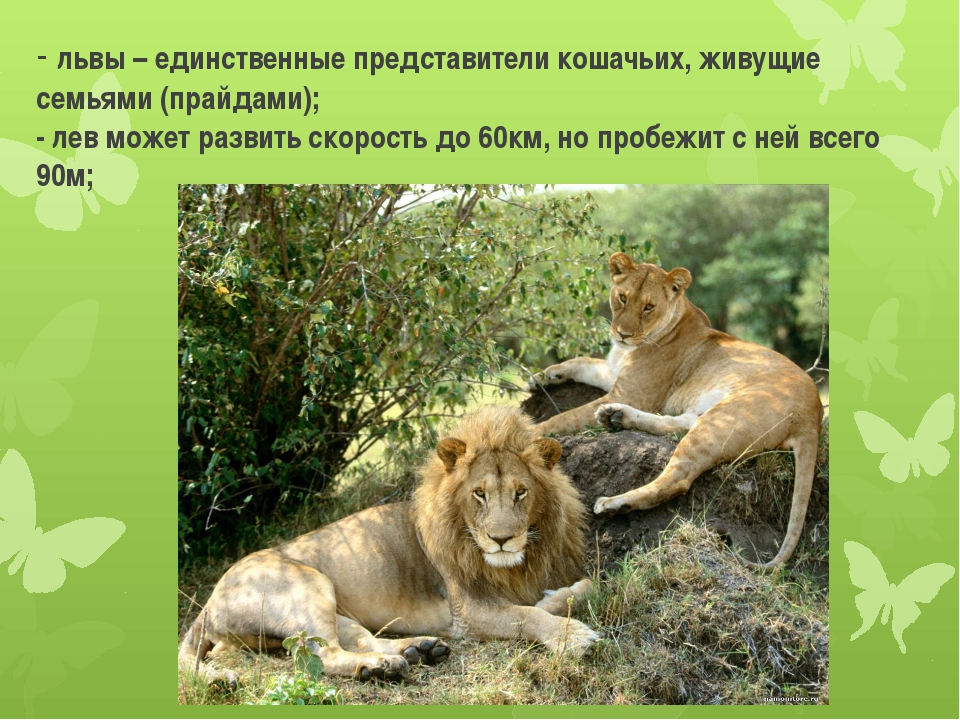 - львы – единственные представители кошачьих, живущие семьями (прайдами); - л...