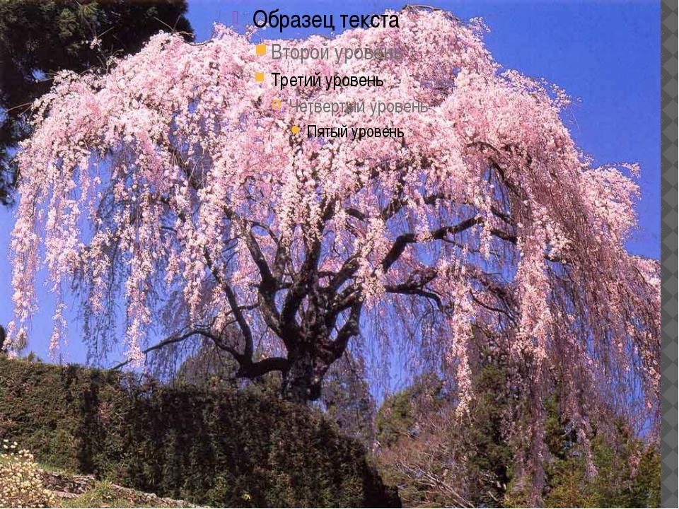 как цветёт японская вишня сакура-показать фото
