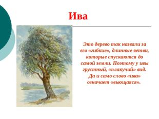 Ива Это дерево так назвали за его «гибкие», длинные ветви, которые спускаются