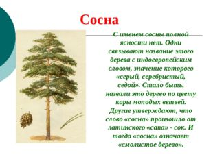 Сосна С именем сосны полной ясности нет. Одни связывают название этого дерева