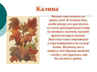 Калина Калину так назвали по цвету ягод. В осенние дни, когда ветер уже расст