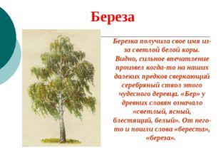 Береза Березка получила свое имя из-за светлой белой коры. Видно, сильное впе