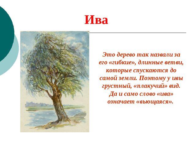 Ива Это дерево так назвали за его «гибкие», длинные ветви, которые спускаются...