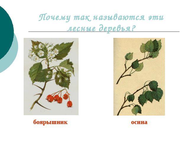 Почему так называются эти лесные деревья? боярышник осина