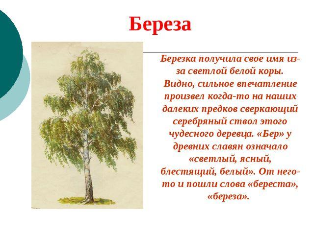 Береза Березка получила свое имя из-за светлой белой коры. Видно, сильное впе...