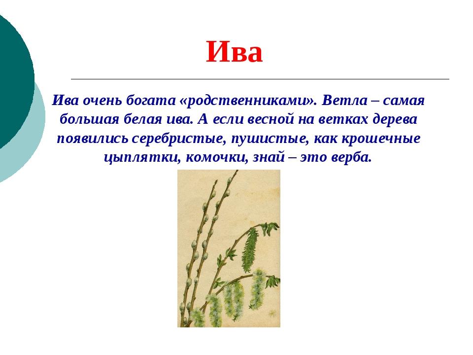 Ива Ива очень богата «родственниками». Ветла – самая большая белая ива. А есл...
