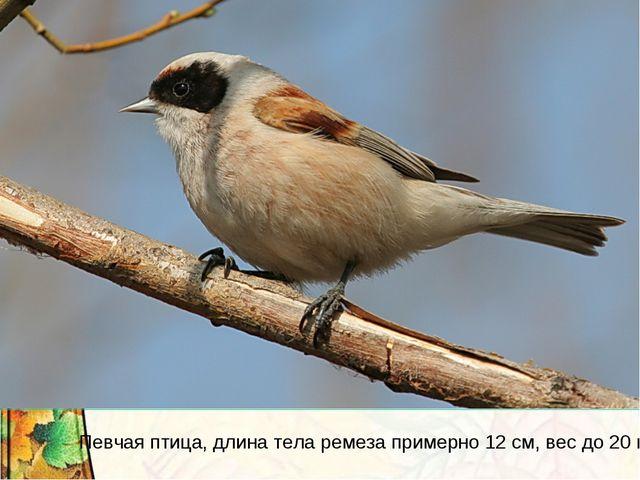 Певчая птица, длина тела ремеза примерно 12 см, вес до 20 г