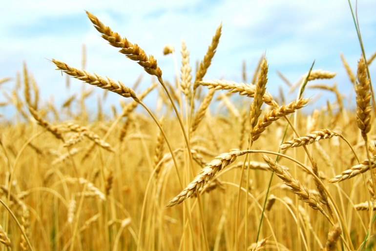 From Wheat to Bread U.S. Kids