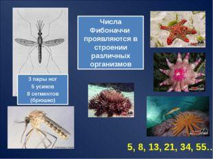 Числа Фибоначчи в природе сельдерей (1 и 2) Ананас (8 и 13) сосновая шишка (