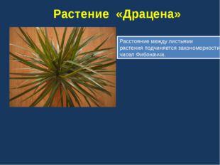 Ананас Колючки у ананаса упорядочены в несколько спиралей в двух направления