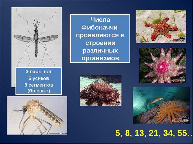 Числа Фибоначчи в природе сельдерей (1 и 2) Ананас (8 и 13) сосновая шишка (...