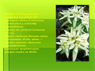 Эдельвейс (Leontopodium sp.) — охраняемый как редкий вид легендарный цветок в