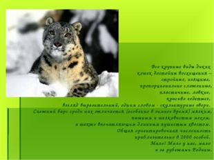 Все крупные виды диких кошек достойны восхищения – стройные, изящные, пропор