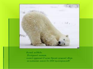 Белый медведь. Полярный гигант, самый крупный в наше время хищный зверь на пл