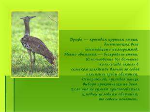 Дрофа — красивая крупная птица, достигающая веса шестнадцати килограммов. Мес