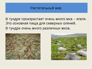 В тундре произрастает очень много мха – ягеля. Это основная пища для северных