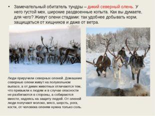 Замечательный обитатель тундры – дикий северный олень. У него густой мех, шир