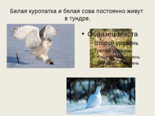 Белая куропатка и белая сова постоянно живут в тундре.