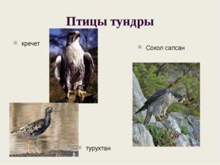 Птицы тундры кречет турухтан Сокол сапсан