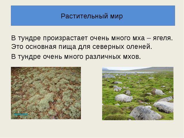 В тундре произрастает очень много мха – ягеля. Это основная пища для северных...