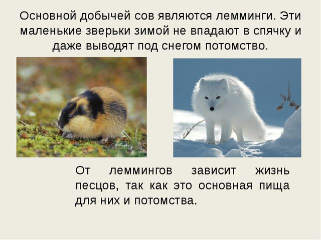 Основной добычей сов являются лемминги. Эти маленькие зверьки зимой не впадаю...