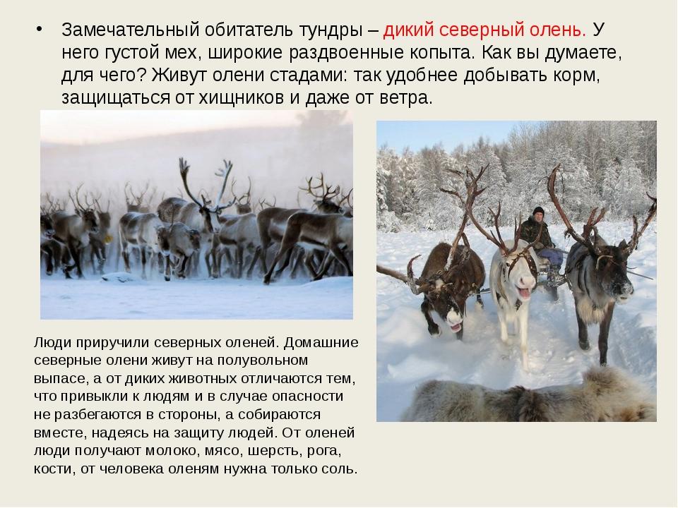 Замечательный обитатель тундры – дикий северный олень. У него густой мех, шир...