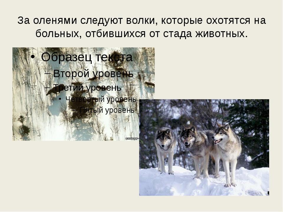 За оленями следуют волки, которые охотятся на больных, отбившихся от стада жи...